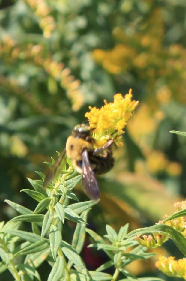 img_0364_bumblebeechow