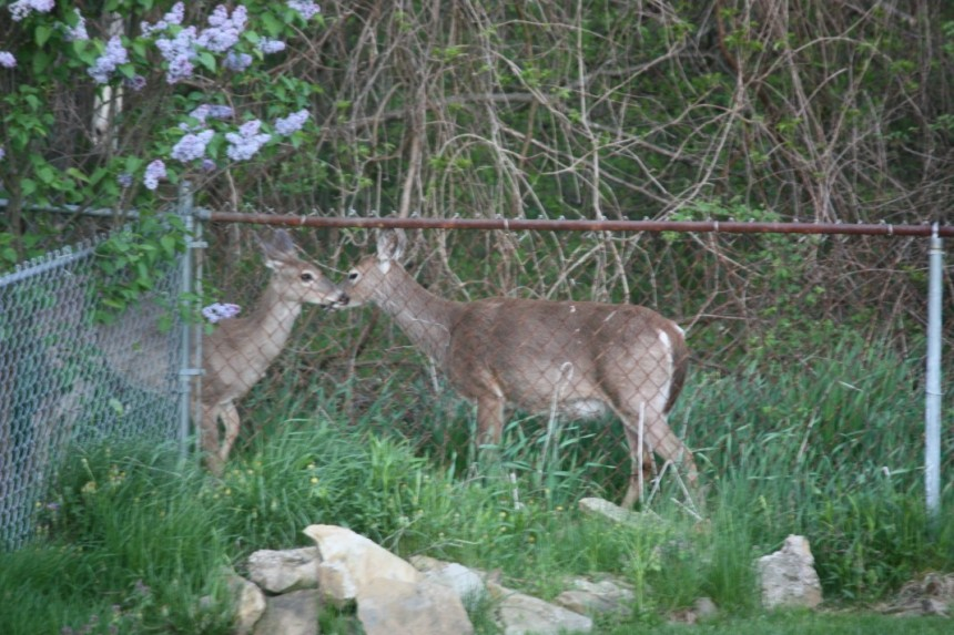 2 deer in woods and lilac bush