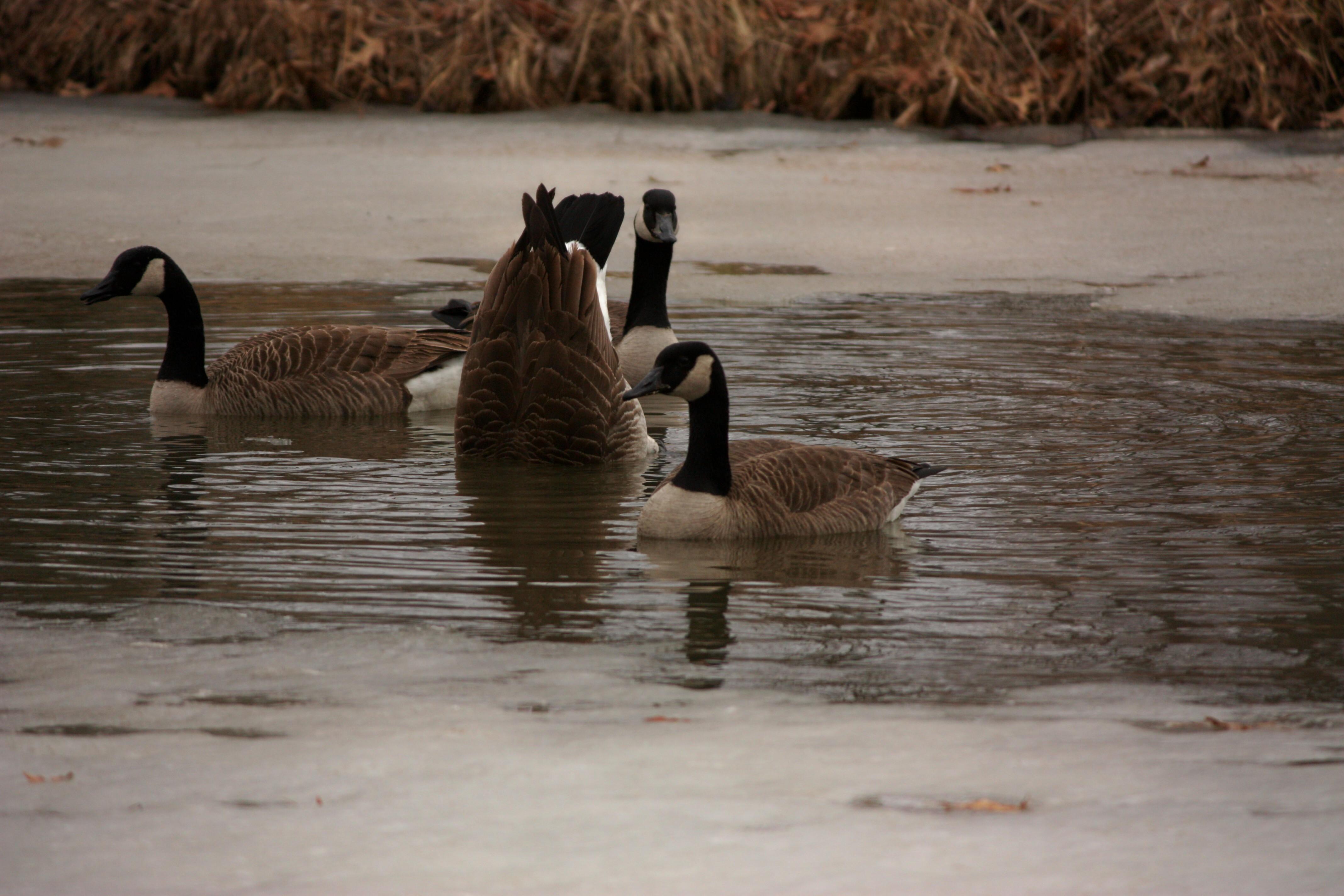 img_1342_geese1