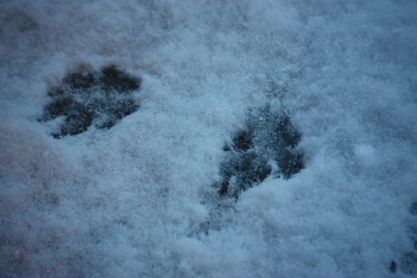 Groundhog Tracks - 2/2/15