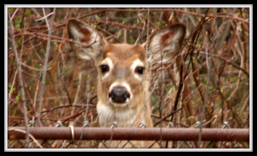 deer_2015_3