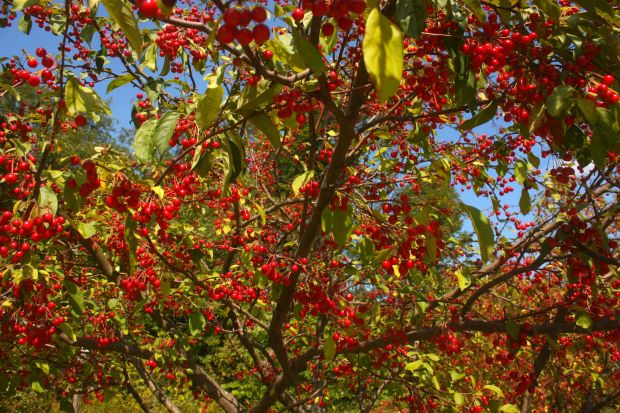 Cherry_Saturated_1