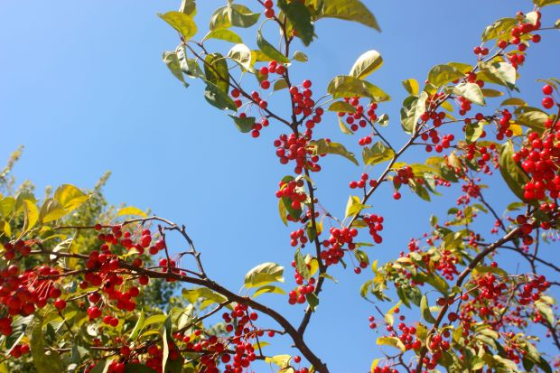 Cherry_Saturated_3