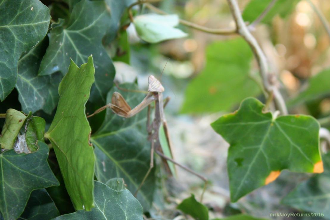 Grasshopper_1